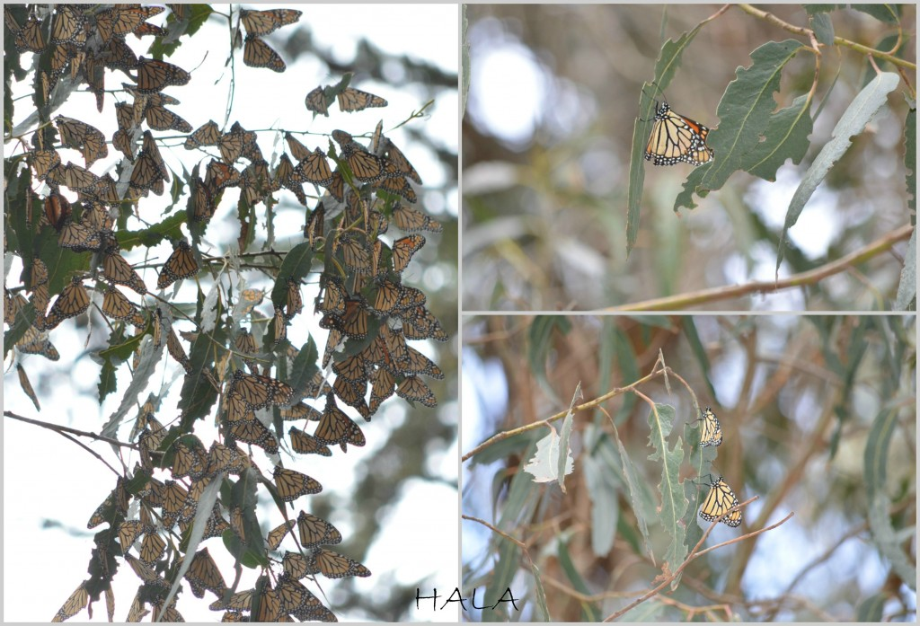 A lot of Monarchs in Pismo Beach