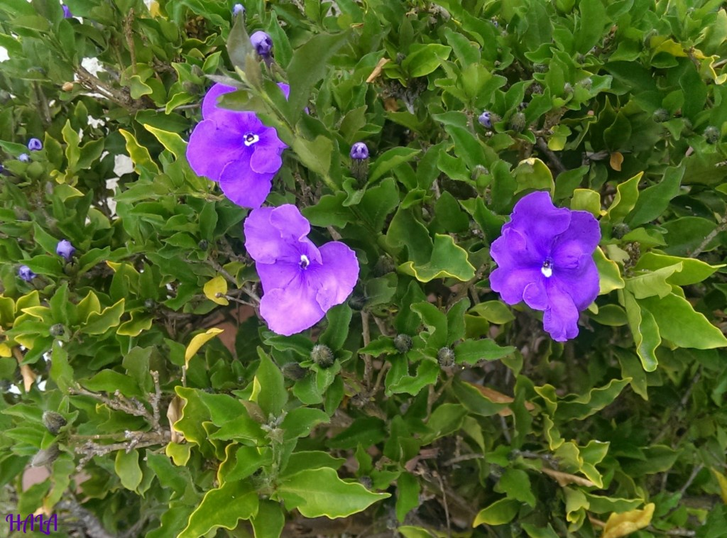 Purple-Spring-Bush