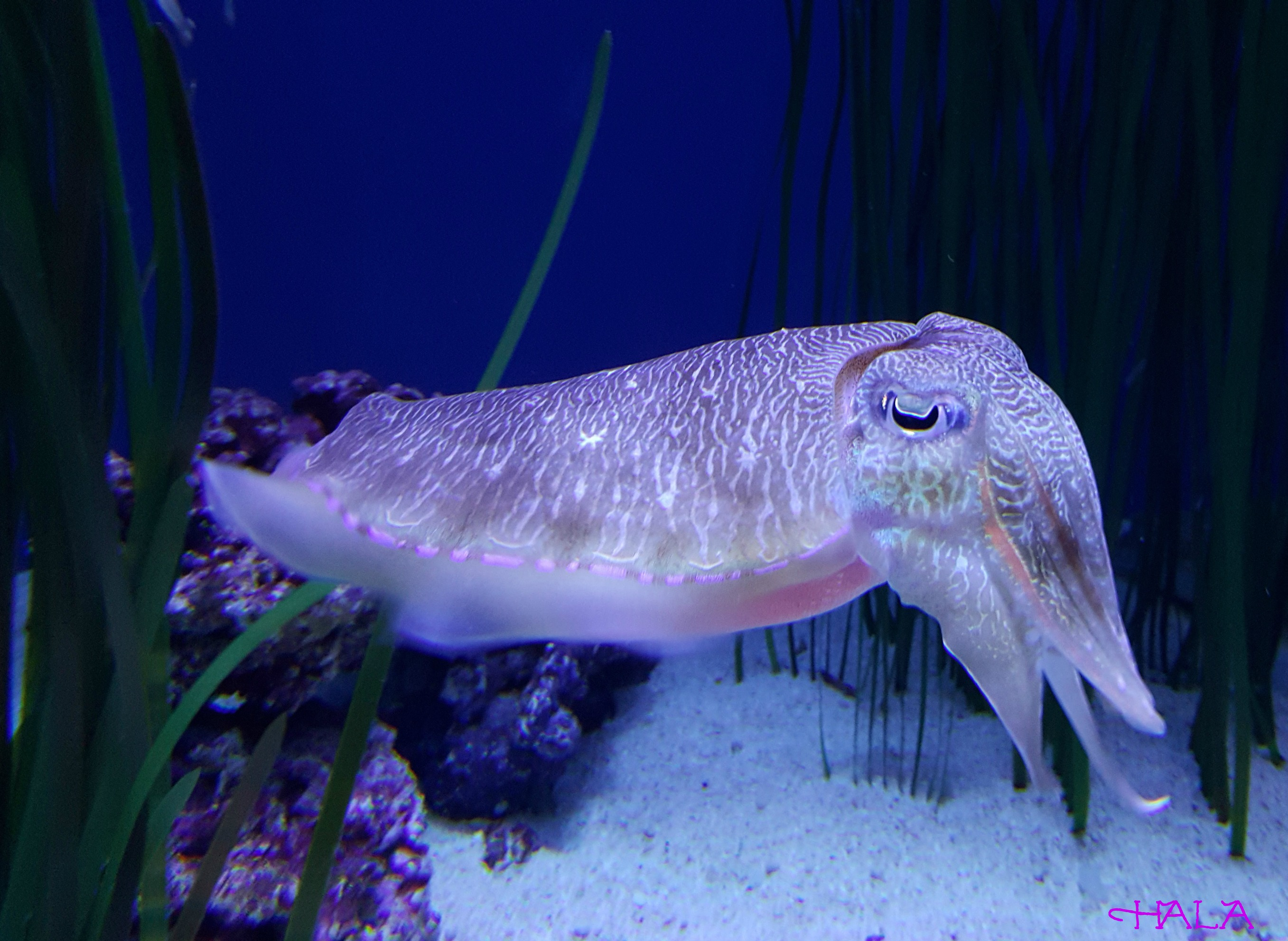 Cuttle-Fish-Aquarium