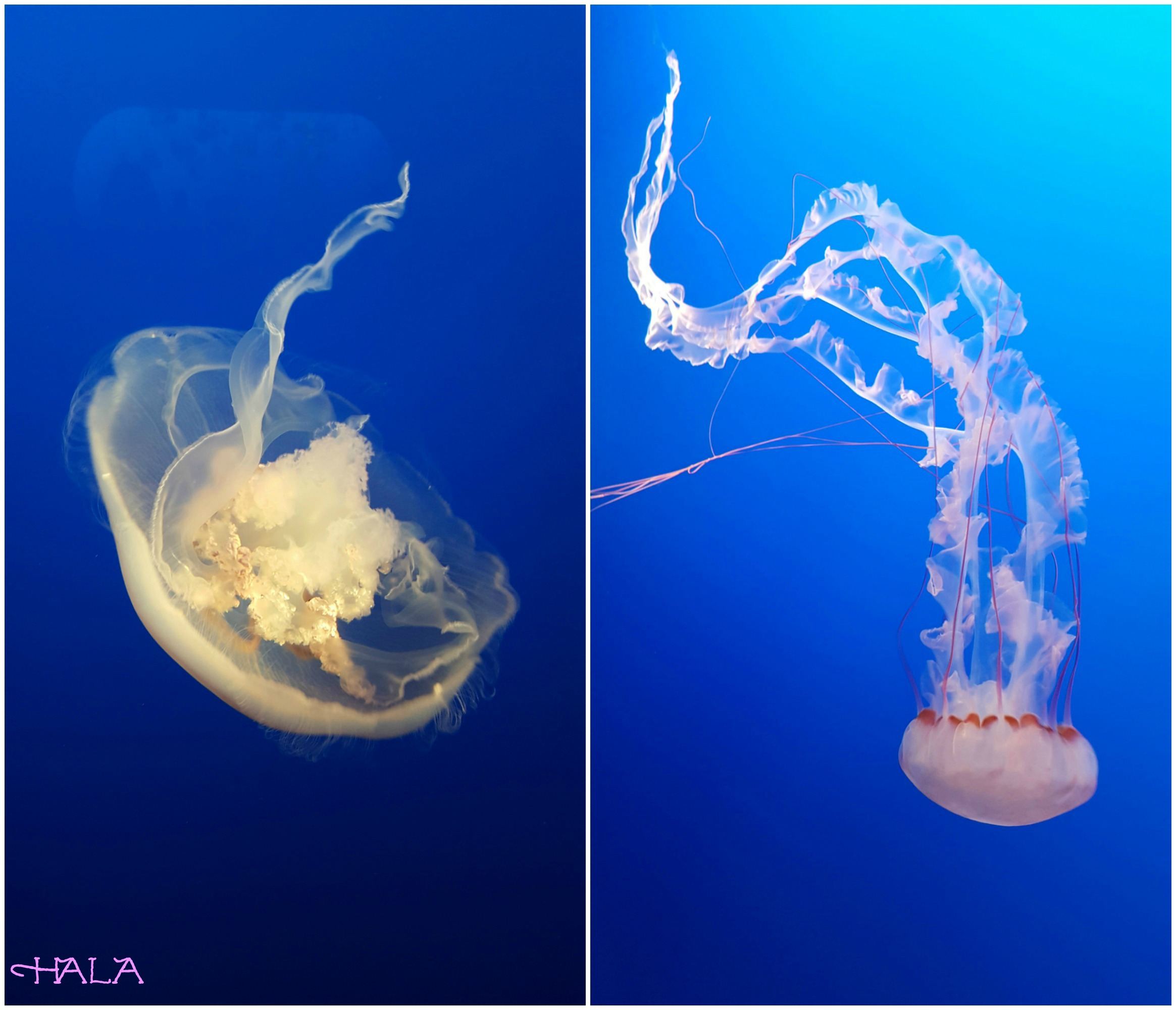Jelly-Fish-Aquarium