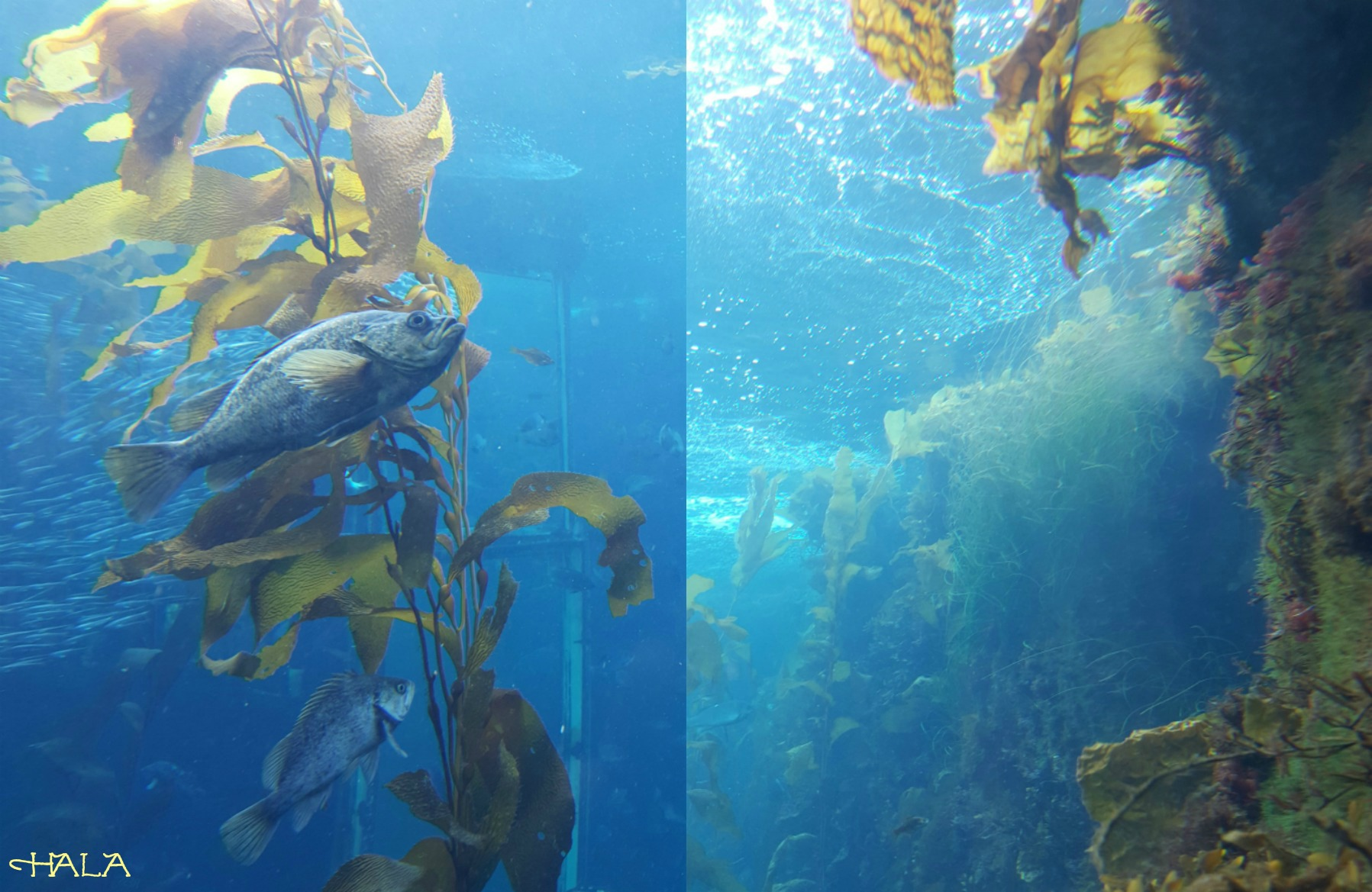 Kelp-Forest-Fishes