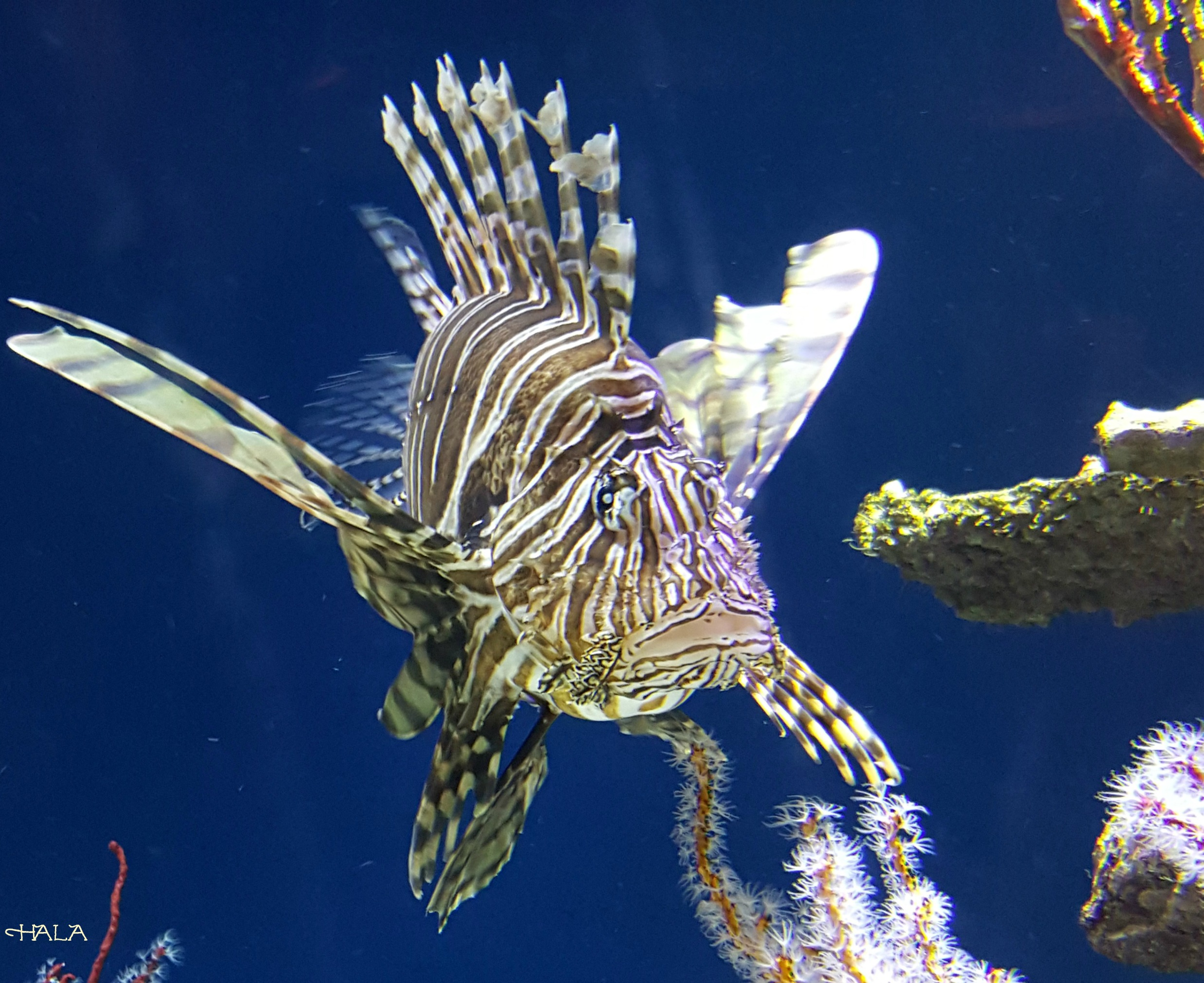 Splash-Zone-Lion-Fish-Monterey-Bay-Aquarium