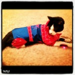 Wordless Wednesday: It's Spider Kitty! #Halloween #CutePets
